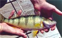 maryland yellow perch fishing report