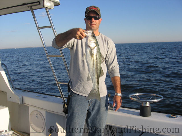 south river striper chesapeake bay