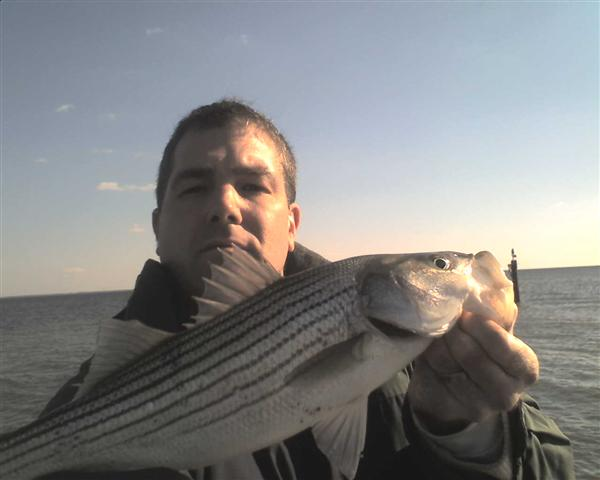 calvert county rockfish striped bass report
