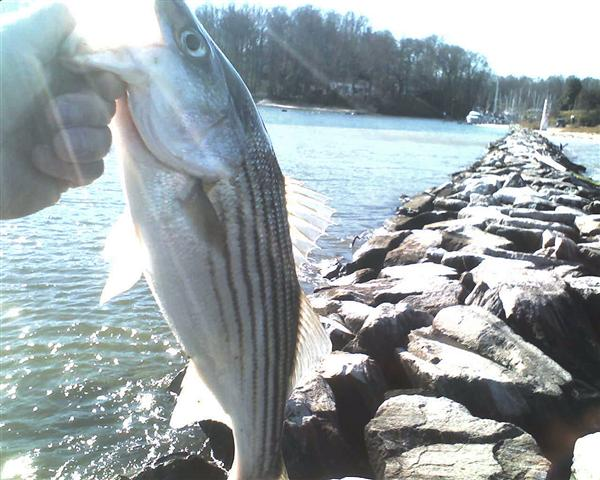 rockfish striped bass chesapeake bay
