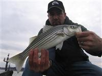 maryland striped bass