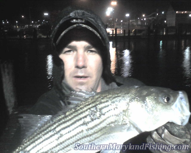 chesapeake bay rockfish on light tackle