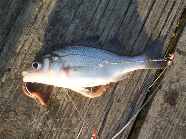maryland patuxent river white perch