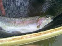 Maryland Fishing Report on Maryland Trout Stream Fishing Report   Southern Maryland Fishing
