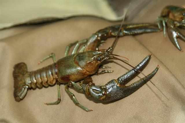 maryland crayfish bait ban