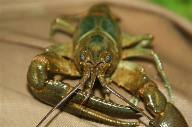maryland crayfish